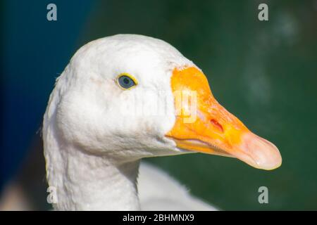 Weiße Entengans aus nächster Nähe - Stockfoto