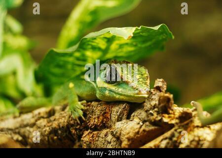 Die Ritteranole ist die größte Anolenart der Dactyloidae-Familie. Andere gebräuchliche Namen sind kubanische Ritter Anole oder kubanische Riesen Anole