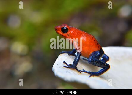 Erdbeergiftpfeil-Frosch auf dem weißen Pilz - Stockfoto