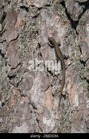 Viviparous Eidechse - Zootoca vivipara - männliche Reptil sitzt auf der Rinde einer Kiefer - Pinus sylvestris