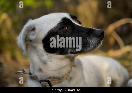 Niedlicher schwarz-weißer Hund, der die Kamera anschaut. Seitenansicht. Farbenfroher Hintergrund. - Stockfoto
