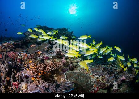 Eine Schule von schönen, bunten Schnappern und anderen tropischen Fischen auf einem gesunden Korallenriff