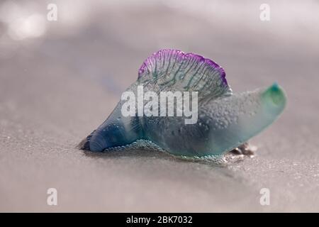 Eine bunte Blaue Flasche Qualle (Physalia Utriculus), auch bekannt als Portugiesischer Mann o` Krieg am Kap Agulhas, Südafrika. Es wurde einfach an Land gespült.