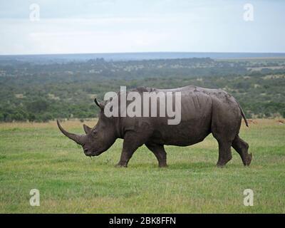 Einjährige Erwachsene Frau Southern White Rhino (Ceratotherium simum) mit langem Horn grasen auf Grasebenen von Ol Pejeta Conservancy, Laikipia, Kenia, Afrika - Stockfoto