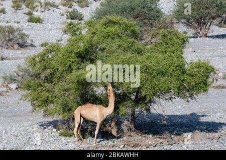 Kamelfütterung von Akazien im Wadi Mistal in Oman - Stockfoto