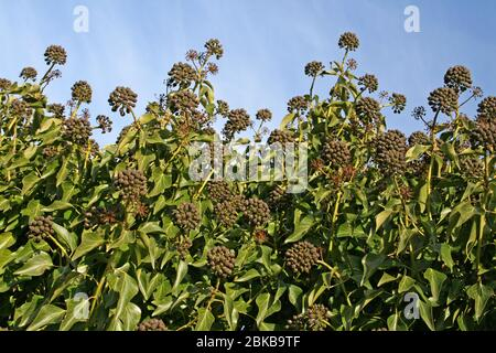 Gewöhnliche Efeu-Hedera-Helix-Beeren/Früchte Stockfoto