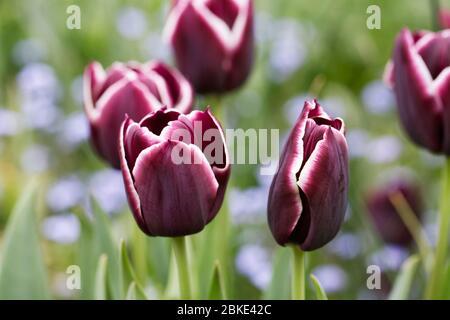 Tulipa 'Jackpot' blüht in einem Hüttengarten.