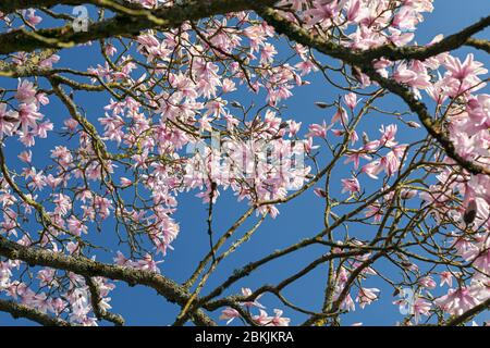 Rosafarbener Magnolienbaum in voller Blüte am blauen Himmel, England, Großbritannien