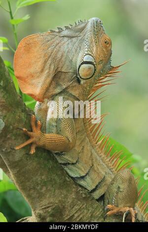 Grüner männlicher Leguan (Iguana Leguana) zeigt Kehlentau in der territorialen Darstellung. Regenwald, Biologische Station La Selva, Sarapiquí, Costa Rica. - Stockfoto