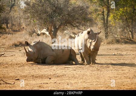 Wildes Nashorn in einem afrikanischen Safaripark. Ein Nashorn, allgemein abgekürzt Nashorn, ist eines von fünf großen Tieren in afrika, allgemein bekannt als groß - Stockfoto