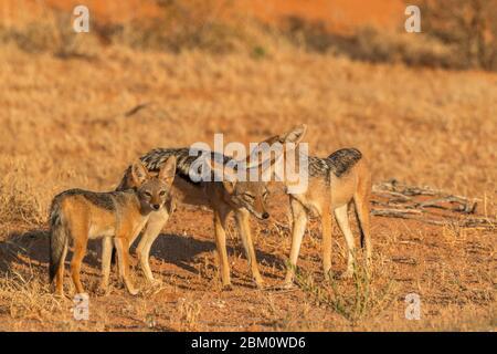 Schwarzbackschakal (Canis mesomelas) mit jungen, Kgalagadi transfrontier Park, Südafrika - Stockfoto