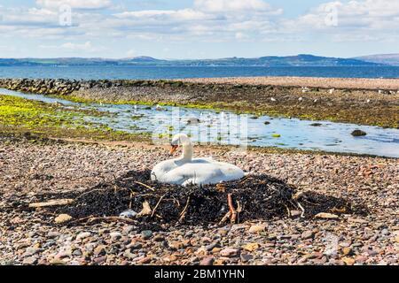 Stummer Schwan auf einem Nest am Kiesstrand, Nord-Ayrshire am Ufer des Firth of Clyde, Schottland, Großbritannien - Stockfoto
