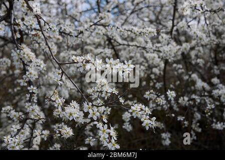Blühender Strauch Prunus spinosa - Stockfoto