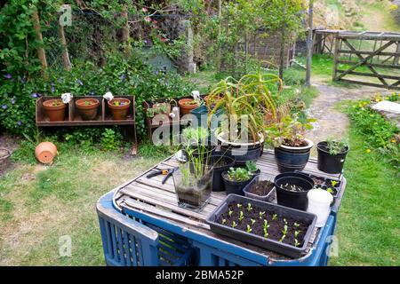 Sämlinge in Tablett auf Tisch mit Töpfen und Reihe von Töpfen mit Salat wächst in einem kleinen Garten Garten Carmarthenshire West Wales KATHY DEWITT - Stockfoto