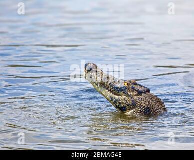Salzwasser-Krokodil, Estuarinkrokodil (Crocodylus porosus), im Wasser, Australien