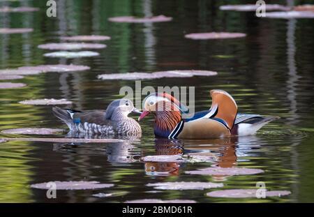 Männliche und weibliche Mandarinenten (Aix galericulata), New Pool, Whitegate, Cheshire, England, Großbritannien Stockfoto