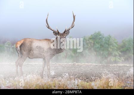 Kraftvoller, erwachsener Hirsch im majestätischen Wald mit Nebel. Wildlife Szene aus der Natur, Europa. Tier im Lebensraum, tierisches Verhalten - Stockfoto