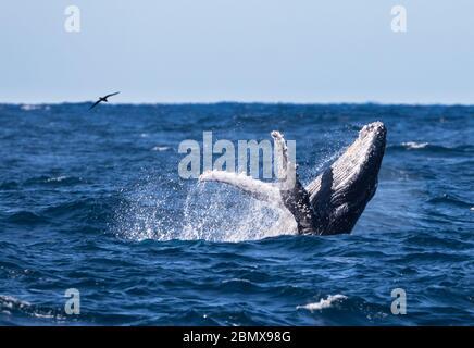 Der Agulhas-Strom, Indischer Ozean, Südafrika, ist eine wichtige Zugroute für Buckelwale, Megaptera novaeangliae. - Stockfoto