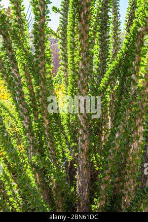 Eine Nahaufnahme einer ocotillo Pflanze im Frühling mit allen Blättern, Anza Borrego Desert State Park, Kalifornien, USA - Stockfoto