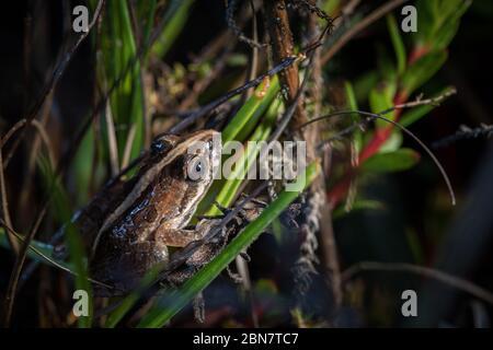 Der Lebensraum im Kenilworth Racecourse Conservation Area, Kapstadt, ist die Heimat vieler Arten, darunter Click Stream Frog, Strongylopus greyii. - Stockfoto