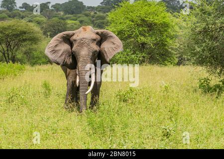 Der einjährige Rüde Afrikanischer Elefant (Loxodonta africana) auf der tansanischen Savanne schaut direkt auf die Kamera. Kopierbereich.
