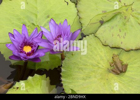 Amerikanische Bullfrog (Lithobates catesbeianus) neben Seerosenblumen, Washington DC, USA, Juli. - Stockfoto