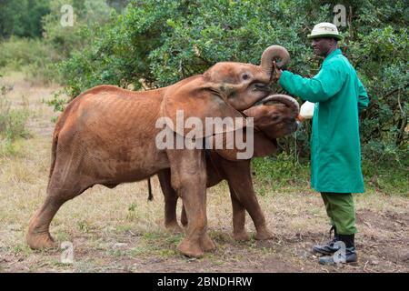 Pflegerflasche Fütterung junger Waisen Afrikanische Elefanten (Loxodonta africana) nach der Fütterung, David Sheldrick African Elephant Waisenhaus. Nairobi Nation - Stockfoto