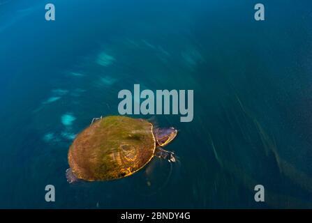 Mesoamerikanische Schiebeschildkröte / Terrapin (Trachemys scripta venusta) in Doldenloch, mit Algen auf der Schale, Cenote Carwash, in der Nähe von Tulum, Yucatan Halbinsel, Mex - Stockfoto