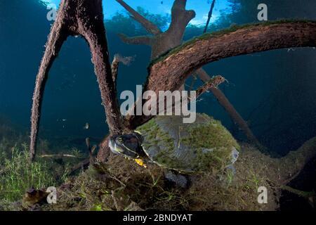 Mesoamerikanische Schiebeschildkröte / Terrapin (Trachemys scripta venusta) in Doline, Cenote Carwash, in der Nähe von Tulum, Yucatan Halbinsel, Mexiko, Januar - Stockfoto