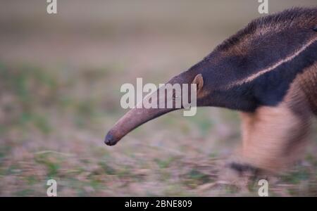 Riesenanteater (Myrmecophaga tridactyla), der durch ein offenes Feld geht, mit langsamer Verschlusszeit aufgenommen. Pantanal, Brasilien. - Stockfoto