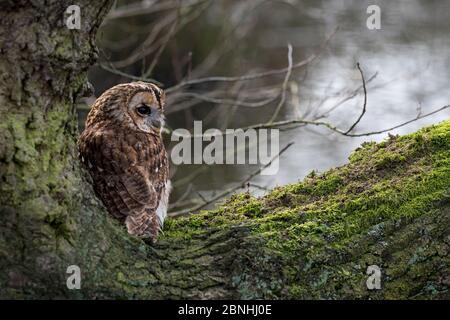 Eule (Strix aluco) auf Ast des Baumes sitzend. Cheshire, England, Großbritannien. September. - Stockfoto