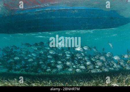 Horse-Eye Jacks (Caranx latus) unter Boot, Shark Ray AlleyHol Chan Marine Reserve, Belize Barrier Reef, Belize. - Stockfoto