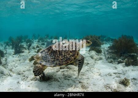 Hawksbill Schildkröte mit Satelliten-Tag (Eretmochelys imbricata) für die Überwachung. Tagged von MAR Alliance, Lighthouse Reef Atoll, Belize. - Stockfoto