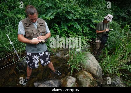 Wissenschaftler erforschen japanischen Riesensalamander (Andrias japonicus) in Stream Habitat, Honshu, Japan, August 2010 2010. - Stockfoto