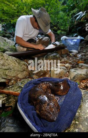 Professor Sumio Okada mit dem japanischen Riesensalamander (Andrias japonicus) fing während der Forschung im Netz. Honshu, Japan, August 2010. - Stockfoto