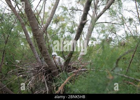 Egetta garzetta brütet mit Küken im Tamarisk (Tamarix) Wald, Scamandre, Camargue, Frankreich, Mai. - Stockfoto