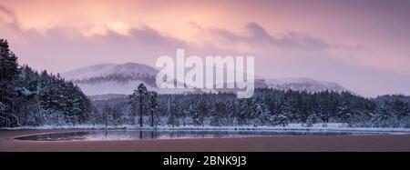Weitgehend eingefroren Uath Lochan von Schnee bedeckt Scots umgeben Fichte (Picea abies) Bäume im Sonnenaufgang, Cairngorms National Park, Schottland, UK, Januar - Stockfoto