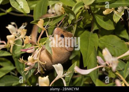 Haseldormaus (Muscardinus avellanarius), erwachsenes Männchen, kletternd auf blühendem Geißblatt, Deutschland, Juni. - Stockfoto