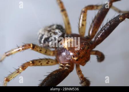 Super Nahaufnahme mit Gesicht und Augendetails des männlichen Xysticus lanio (Rote Krabbenspinne), 7mm lang, auf einem Blatt. - Stockfoto