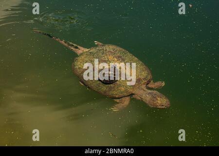 Bemalte Schildkröte (Chrysemys scripta), die Algen vom Karapaß einer schnappenden Schildkröte (Chelydra serpentina) isst Maryland, USA, August. - Stockfoto