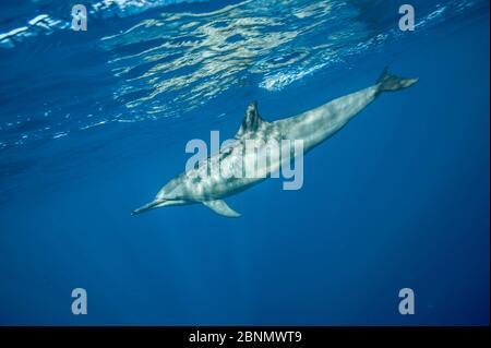 Spinner Delfin (Stenella longirostris) Profil unter der Oberfläche, Kona Küste, Hawaii, USA, August - Stockfoto