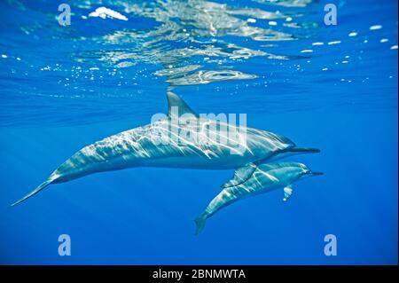 Spinner Delfin (Stenella longirostris) mit Kalb, Kona Küste, Hawaii, USA, August - Stockfoto