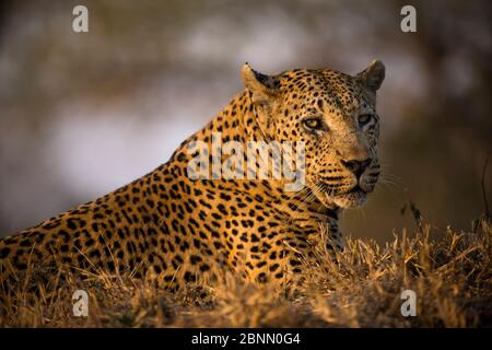 Leopard (Panthera pardus) männlich bekannt als 'Princes Alice Pans Male', Mala Mala Game Reserve. Südafrika. - Stockfoto