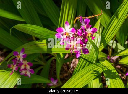 Orchidee, Botanischer Garten, Victoria, Mahe Island, Seychellen, Indischer Ozean, Afrika - Stockfoto