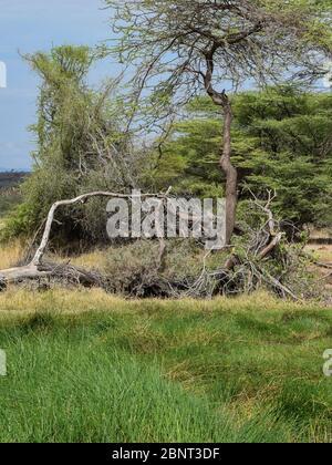 Verflochten Bäume in der Wildnis, Samburu National Reserve, Kenia - Stockfoto