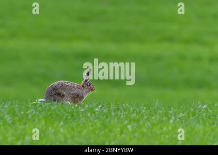 Niedlicher Hase sitzt im Frühlingsgras. Naturszene aus der Natur. Tier auf der Wiese - Stockfoto
