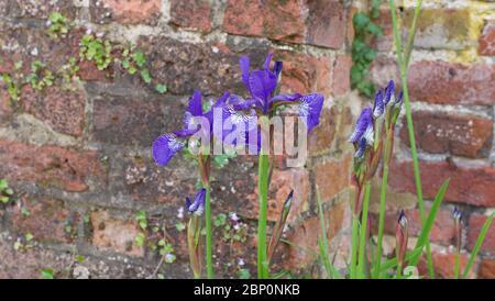 Mehrere elegante lila Iris gegen alte knorrige Ziegelwand im Garten - Stockfoto