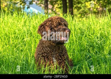 Braun Spanischer Wasserhund Welpen Stockfotografie Alamy
