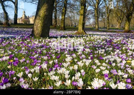 Wunderschöne bunte Frühlingskrusten, Rasen, Cartwright Hall Kunstgalerie (historisches Museum) & blauer Himmel - sonniger Lister Park Bradford, England, Großbritannien - Stockfoto
