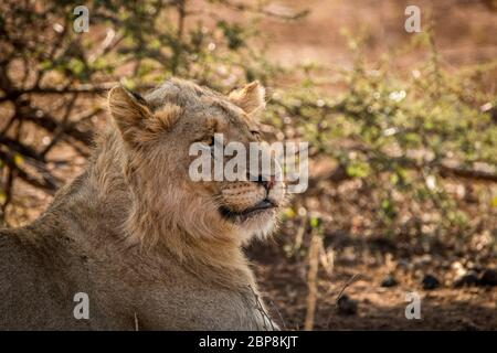 In den Hauptrollen junger Löwe im Kruger National Park, Südafrika.